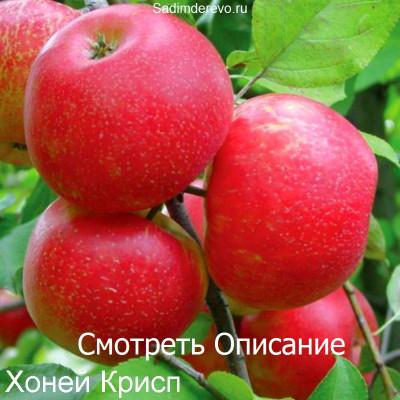 Яблоня Хоней Крисп